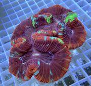 Trachyphyllia Rainbow LPS Korallen Meerwasser