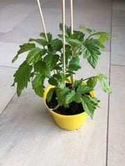 Tomatenpflanzen Paprikapflanzen
