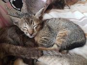 Orientalisch Kurzhaar Kitten OKH Kitten