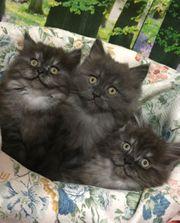 Perser Katzenbaby