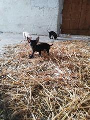mini Chihuahua Männchen sucht noch