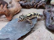 3 Leopardgeckos zu verkaufen