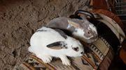 Kaninchen Hasen Zwergkaninchen