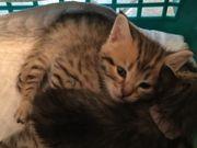 Bengal BKH Kitten