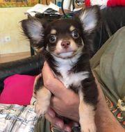 Schoko Chihuahua Prinzen mit Papieren