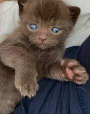 BKH Kitten Chocolate Cinnamon