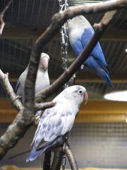 Pärchen Pfirsichköpfchen - Blau Reihe - Sie