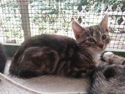 Hübsche Hybrid Katze Rarität