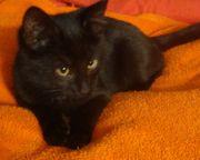 Katzenbabys BKH Mix Kitten rot