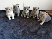 Bkh scotish fold Kitten