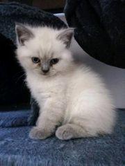 wunderschöne BKH Kitten Blaupoint