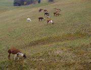 Verkaufe Lamas in verschiedenen Farben