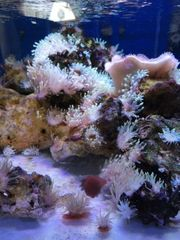 Leuchtet grün Mini Anemone Meerwasser