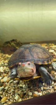 Wasserschildkröten mit Aquarium