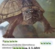 Gewöhnliche Moschusschildkröte ca 3 5
