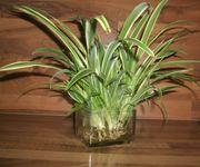 Ableger Grünlilie Chlorophytum comosum 10