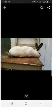 Kaninchen Russen Tätowiert und Geimpft