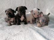 Reinrassigen Französische Bulldoggen Welpen