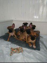 5 Französische Bulldogge Mix Welpen