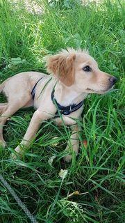 Hunde Welpe Tilli - Kokoni - sucht