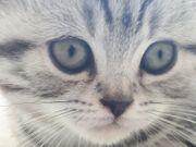 Wunderschöne reinrassige Scottish Fold Babykatzen