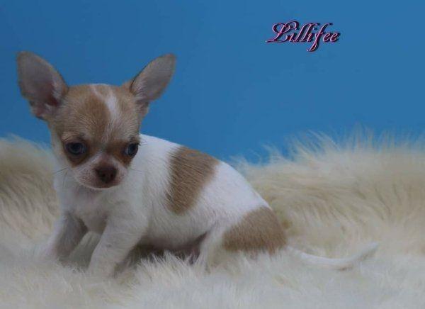 Chihuahua kurzhaar welpen