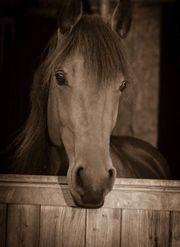Quarter Horse Friese Quarter-Mix