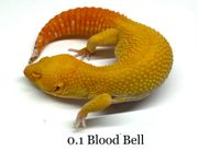 Leopardgecko Eublepharis macularius Blood Bell