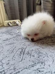 pomeranian Mini welpe