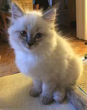 zauberhafte Ragdoll Mix Kitten