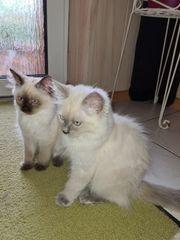 Ragdoll Kitten 1 Mädchen und