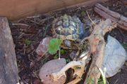 griechische Landschildkröte Schildkröte mit Cites