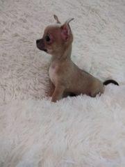 Mini Chihuahua Prinzessin zu Verkaufen