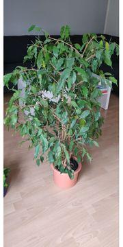 verschiedene Ficus benjamini
