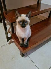 siam heilige birma kitten