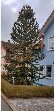 Ausgewachsener Affenbaum Auraucaria ca 5