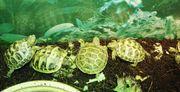 Testudo Horsfieldii Vierzehen Schildkröte