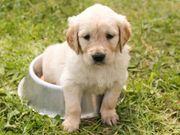 Golden retriever oder Labrador Welpen