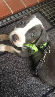 Old Englisch Bulldog Blue-tricolor