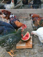 Hähne ver Hühner-Rassen Marans Sulmtaler
