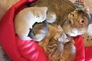 Reinrassige BKH Kitten in liebevolle