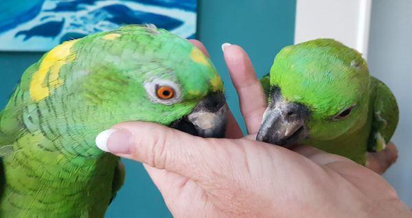 Gelbnacken Papageien Paar Amazonen Zahm Und Sprachbegabt In München