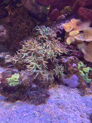 schöne Meerwasser Korallen