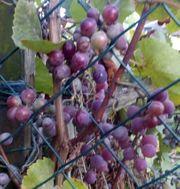 Biete Trauben Farbe-Rot mit Starkem
