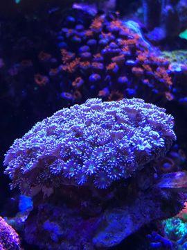 Fische, Aquaristik - Euphyllia Anemone goniopora Meerwasser Korallen