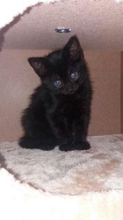 Schwarz Katze