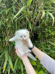 BLH Kitten sehr schöne Fellfarbe