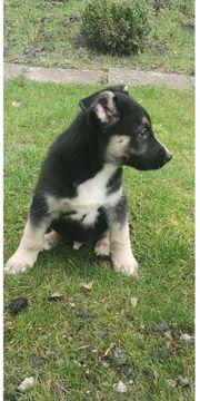 Husky Australian Sheperd Labrador Mix