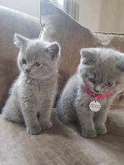 Zwei British shorthair Blue