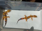 Leopardgecko - Eublepharis macularius - Afghan Tangerine